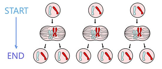Diagram showing how cells duplicate in response to using a penis extender.
