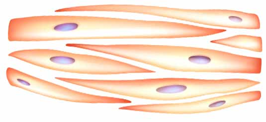 Diagram of smooth muscle tissues in penis.